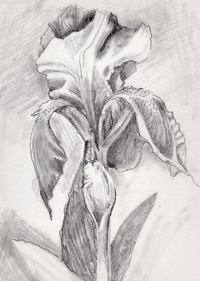 Pencil drawing Iris Flower by Gail M Austin