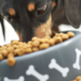 Close-up of Dachshund dog eating food.jp