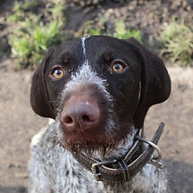 German Wired Haired Pointer