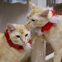 Tonkenese in Christmas collars