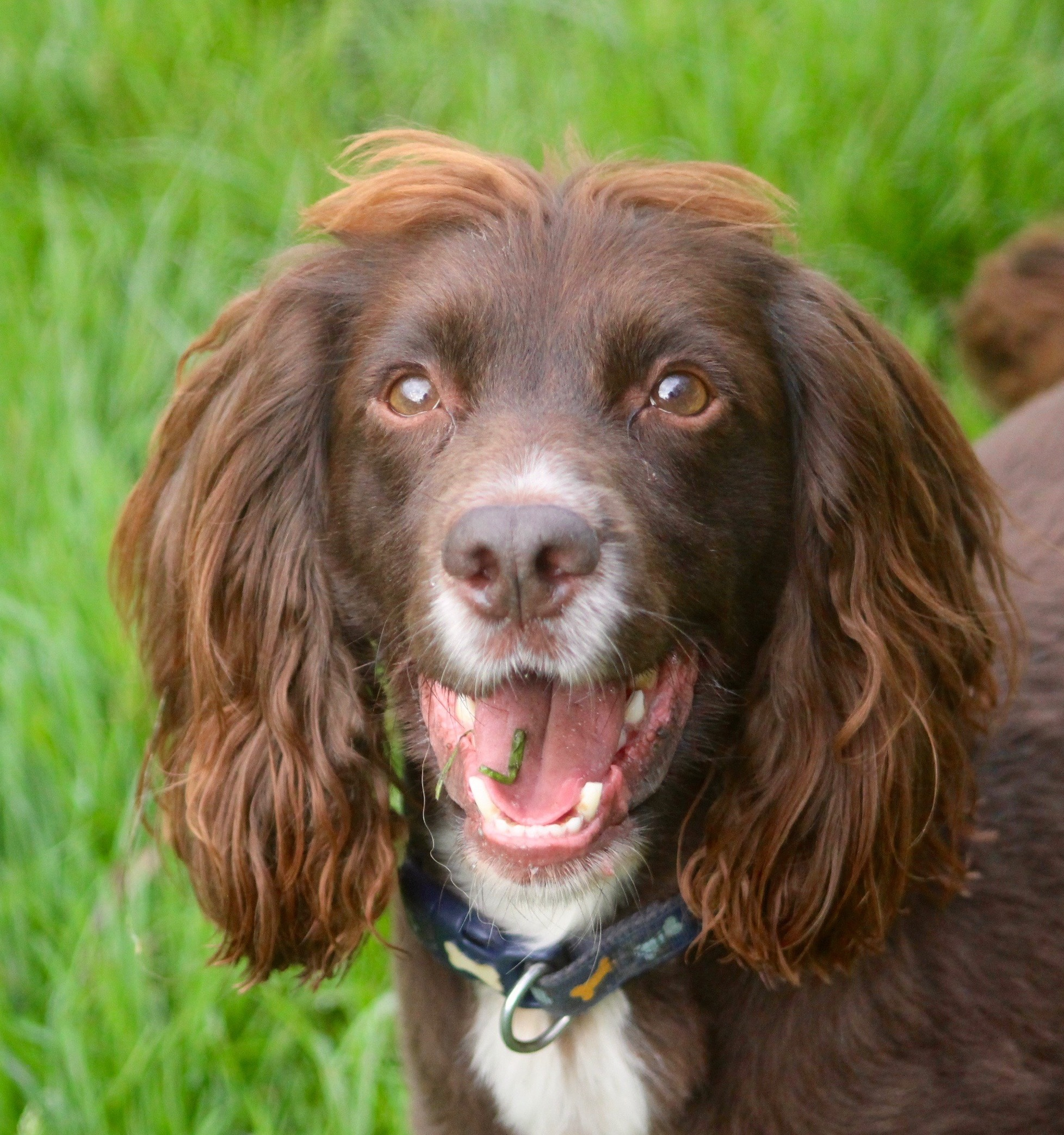 Happy Spaniel_edited_edited.jpg
