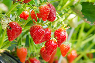 Fresh strawberries that are grown in gre
