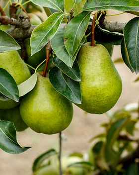 _Pears on the tree. Selective focus.jpg