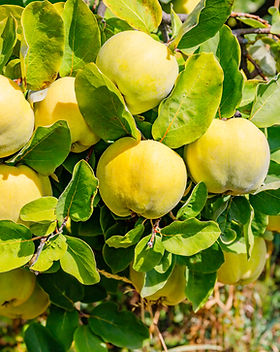 Ripe yellow quince fruits grows on quinc