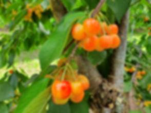rainier cherry tree (golden yellow cherr