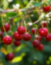 Fresh ripe sour cherry hanging on cherry