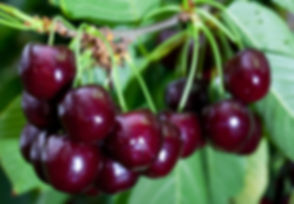 Ripe Cherries hanging on a tree, just be