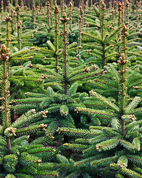 Young growing fir trees.jpg