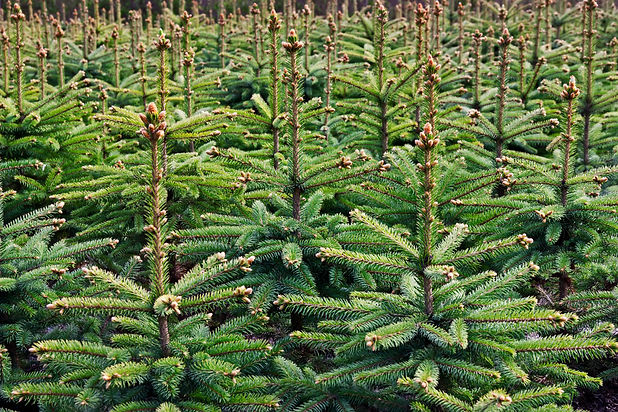 Young growing fir trees.jpg