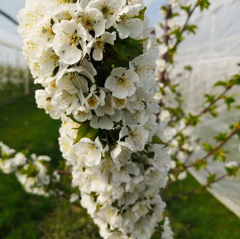Kirschblüte im Kirschdach