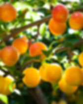 plum tree branch closeup outdoors.jpg
