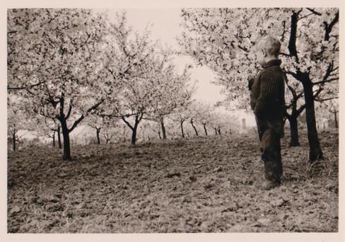 Kirschblüte 1963