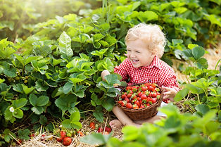Child picking strawberry on fruit farm f