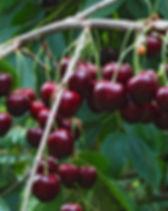 Delicious juicy cherries  hanging in the