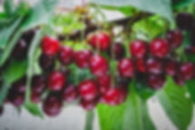 Summer rain and red cherries on branch i