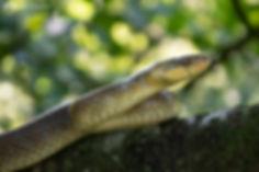 aesculapian snake,_-10.jpg