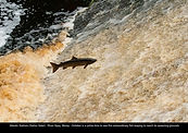 10 October Leaping Salmon.jpg