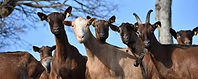 chèvres02.jpg
