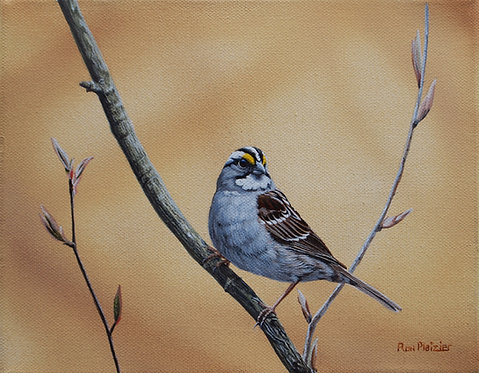 "White Throated Sparrow - 8""x10"" - SOLD -"