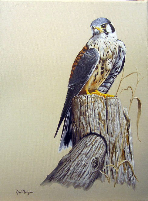 "American Kestrel - 12""x9"" framed original"
