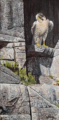 "Cliff Hanger - Peregrine Falcon 30""x15"" -SOLD-"