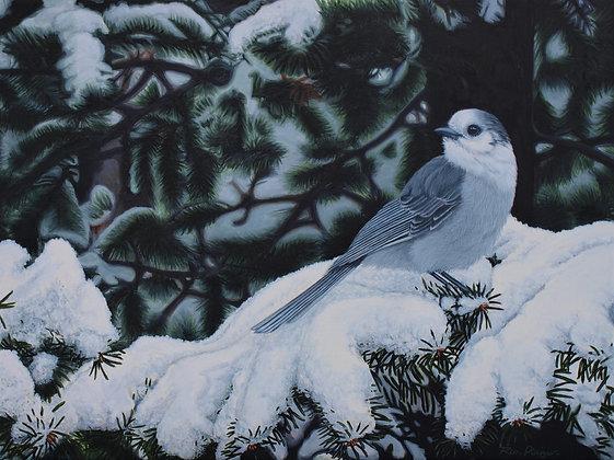 """Winter Veil - Canada Jay - 12""""x16"""" Original Framed"""