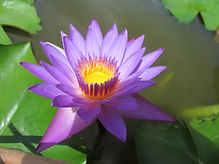water-lily-1269768_1920.jpg