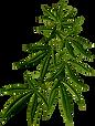 kisscc0-hemp-medical-cannabis-plants-can