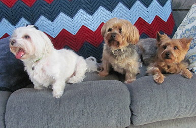 Bentley on the couch with other dogs.