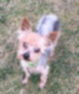 Forever Foster dog Tinsel