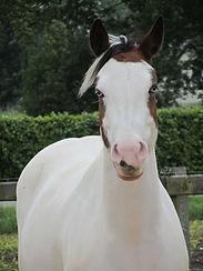 Angel coachpaard Horse2Heart Heerde Gelderland