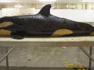 Orca bebé nació ya contaminada desde el vientre materno y murió a los 10 días.
