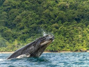 Llegó la temporada de ballenas: conozca los mejores lugares en Colombia para avistar los cetáceos.