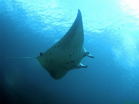 Adventure Scuba Diving Bali Manta Ray 1.jpg