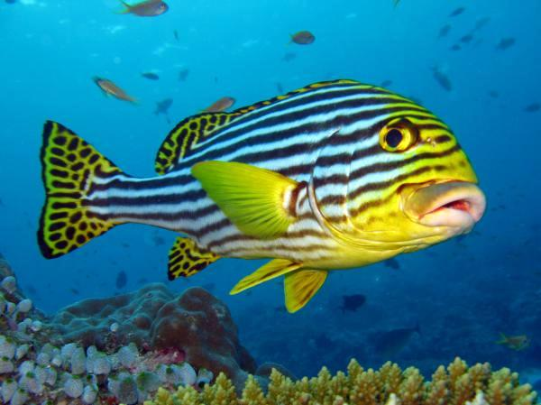 Diving Bali - Oriental Sweetlips.jpeg