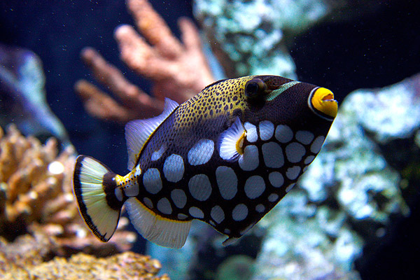 Adventure Scuba Diving Bali - Clown Trigger Fish.jpg