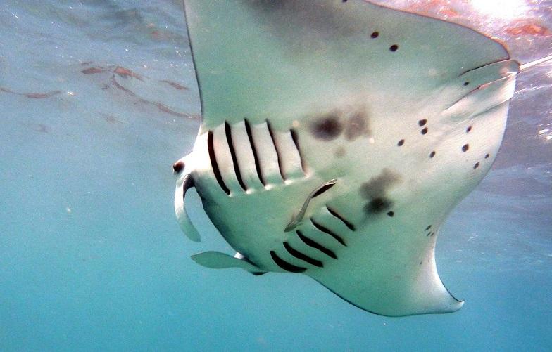 Adventure Scuba Diving Bali Manta Ray 2.JPG