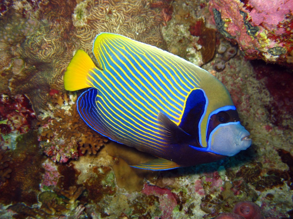 Adventure Scuba Diving Bali  - Emperor Angelfish.jpg