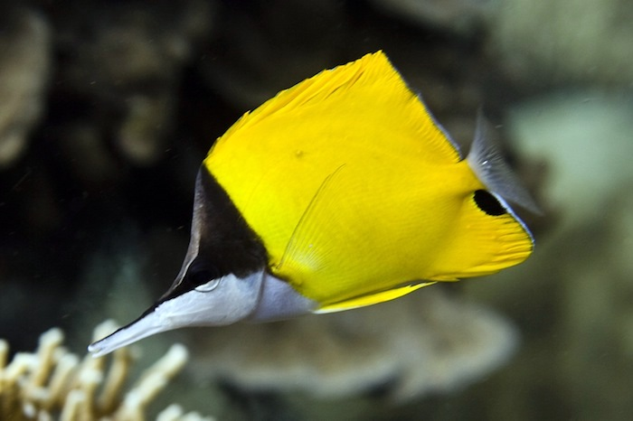 Adventure Scuba Diving Bali  - Long Nose Butterfly Fish.jpg