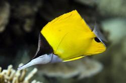 Adventure Scuba Diving Bali  - Long Nose Butterfly Fish.jpg