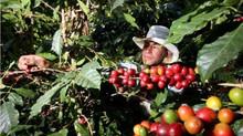 Com es produeix el cafè