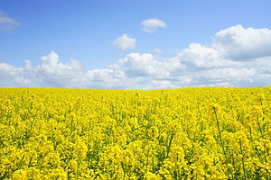 field-of-rapeseeds-474558_1920.jpg