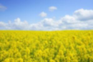 field-of-rapeseeds-474558_1920.jpg