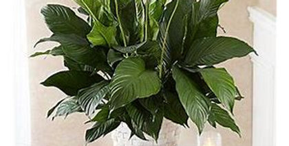 Memorial Plant (Large) peace lily pictured