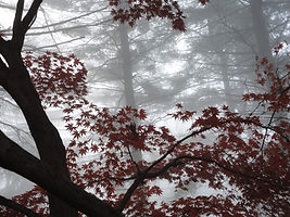 Branches of trees seen through fog.