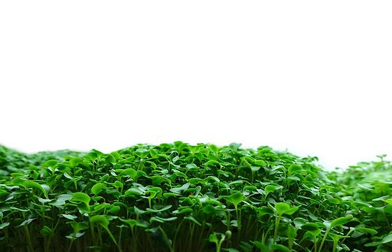 Broccoli Microgreens On The Grow - edit.