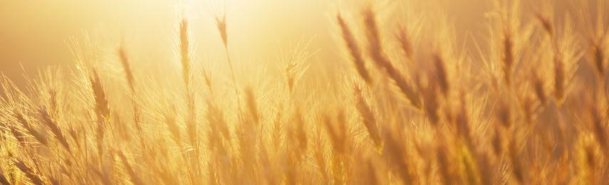 Rob Rivers Wheat
