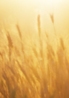 Warm positive golden sunrise over a wheat field