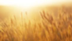 麦畑日の出