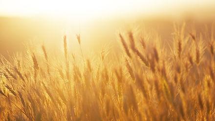 Salida del sol sobre el campo de trigo